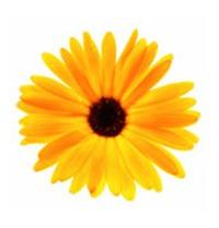gul_blomst_172